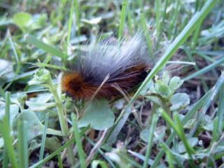 Raupe des Braunen Bären #3 - Raupe, Brauner Bär, Arctia caja, Schmetterling, Schmetterlingsraupe, Nachtfalter, Bärenspinner, Falter