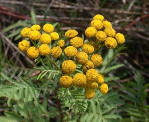 Rainfarn - Rainfran, Korbblütler, Wurmkraut, Tanacetum vulgare, Gülden, Knöpfle, Westenknöpfle, Färbepflanze, Schädlingsbekämpfung