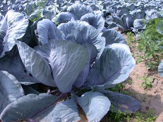 Rotkohl - Brassica oleracea, Kohl, Rotkohl, Rotkraut, Gemüse, Blaukraut