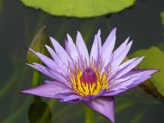 Seerosenblüte - Seerose, Blüte, Teich, Schwimmblattpflanze, Nymphaea