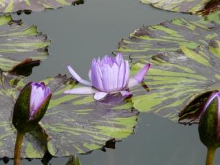 Seerose - Seerose, Teich, Schwimmblattpflanze, Blüte, Blatt, Struktur