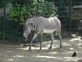 Zebra - Zebra, Streifen, Tarnung, Tiere, Afrika, Steppe, Camouflage