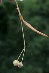 Frucht der Linde - Linde, Herbst, Frucht, Laubbaum