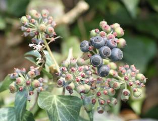 Efeu - reife Frucht - Efeu, Hedera helix, Kletterpflanze, Fruchtstand, Samen