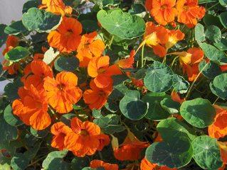 Kapuzinerkresse - Kapuziner, Kapuzinerkresse, Tropaeolum, Kreuzblütler, Blüten, Blätter, rund, kreisrund, sauber, Lotuseffekt, schmutzabweisend, Sporn, Kapuzinermönch, Zierpflanze, essbar, klettern, orange, grün