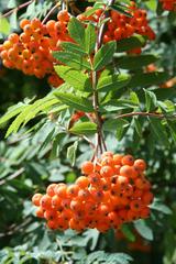 Vogelbeere #1 - Vogelbeere, Eberesche, Sorbus aucuparia, Drosselbeere, Quitsche, Krametsbeerbaum, Frucht, Beeren