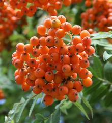 Vogelbeere #2 - Vogelbeere, Eberesche, Sorbus aucuparia, Drosselbeere, Quitsche, Krametsbeerbaum, Beeren, Frucht