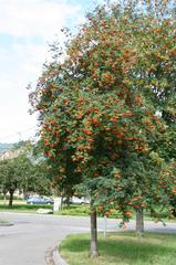 Vogelbeere #3 - Vogelbeere, Eberesche, Sorbus aucuparia, Drosselbeere, Quitsche, Krametsbeerbaum, Baum, Laubbaum, Kernobstgeächs, Heilpflanze