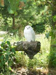 Schneeeule - Eule, weiß, Federn, sitzen, schlafen, Greifvogel, Gefangenschaft, Schneeeule
