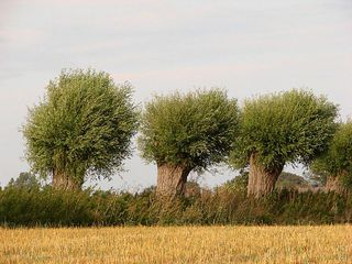 Weiden - Weide, Kopfweide, Sommer, Fluss, Kalenderbild, Meditation, wachsen, Wuchs, Weidengewächs, Laubgehölz, Bodenbefestigung, Heilpflanze