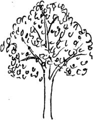 Baum - Baum, Laubbaum, Baumstamm, Äste, Illustration, Anlaut B