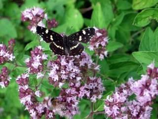 Schmetterling auf Oreganum - Schmetterling, Oreganum, Sommer, Falter