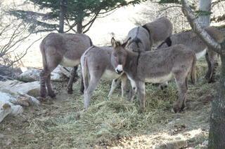Eselgruppe - Esel, Gruppe, Herde, Grautier, Langohr, Tragtier, Haustier, Unpaarhufer, Huftier