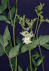 Mädesüß - Mädesüß, Wiese, feucht, Bach, Pflanze