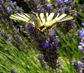 Schwalbenschwanz-Schmetterling - Schmetterling, Fühler, Rüssel, Lavendel, Garten, Sommer, Schwalbenschwanz