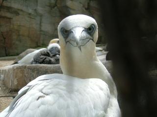 Basstölpel - Meeresvogel, Tölpel, Morus, Ruderfüßer, Stoßtaucher