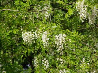 Robinienblüte - Robinie, Blüte, Baum, Robinie, Falsche Akazie, Scheinakazie, Silberregen, Schmetterlingsblütler, Bienenweide, giftig, Zierpflanze