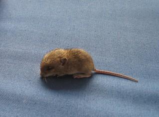 Mausbaby - Maus, grau, Nagetier, Mäuschen, Jungtier