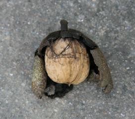 Walnuss - geschlossene Frucht - Walnuss, Nuss, Natur, heimische Pflanzen, Nahrungsmittel, Baum, Laubbaum, Frucht, Nussbaum, Umhüllung