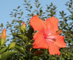 Hibiskus - Hibiskus, Eibisch, Malvengewächs, rot, Blüte, geöffnet, Zimmerpflanze, Blume, Hibiskusblüte, Blütenblätter, Staubblätter, Stempel, Hibiscus, Malve