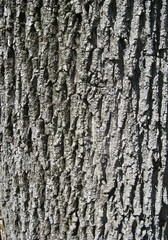 Rinde #2 - Rinde, Stamm, Baumstamm, Oberfläche, Struktur, rau, Eiche
