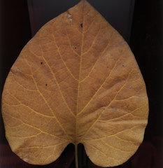Blatt einer Pfeifenwinde - Blatt, Herbst, Pfeifenwinde, mehrjährig, Schlingpflanze, Herbstfarben, verfärben, Blattadern