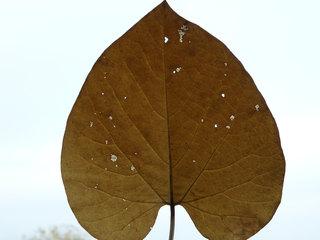 Pfeifenwinde Blatt - Blatt, Blätter, Herbst, Struktur, Blattadern, Herbstfarben, Schlingpflanze, Schädlinge, Schädlingsfraß, Licht, Gegenlicht