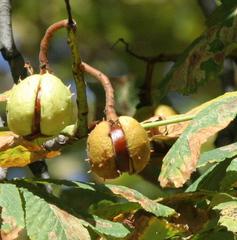 Rosskastanie - offene Frucht - Frucht, Herbst, Kastanie, Rosskastanie, gefingert, Schale, stachelig, Stacheln, Heilpflanze, glatt, glänzend, braun, Fruchtschale, Futterpflanze, Futter, basteln, Samen, Laubbaum