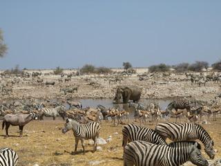 Wasserloch - Lebensretter - Wasserloch, Zebra, Gnu, Elefant, Gazelle, Wasserloch, Namibia, Camouflage