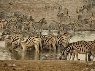 Zebras an einer Wasserstelle  - Zebra, Wasserloch, Wasserstelle, Namibia, Afrika, Camouflage