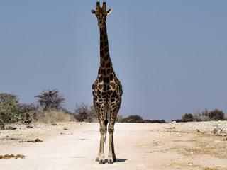 Giraffe - Afrika, Namibia, Giraffe, Camouflage, Netzgiraffe