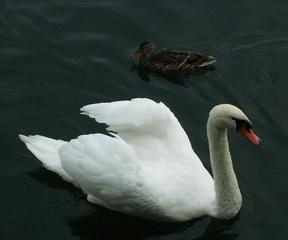 Schwan - Schwan, schwimmen, Vogel, weiß, Federn, Ente, braun, Wasser, Wasservogel