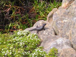 Eidechse - Reptilien, Eidechse, Cape Point, Südafrika, Afrika, Felsen