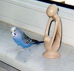 Blauer Wellensittich - Haustiere, Vögel, Wellensittich, Fensterbank, blau, Vogel