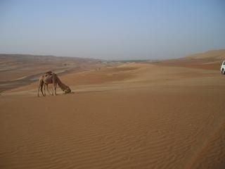 Kamele in der Wüste - Dromedar, Nutztier, Lasttier, Wüste, Sanddüne