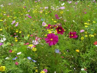 Sommerwiese - Sommerwiese, Pflanzen, Blumen, bunt, Wiesenblumen