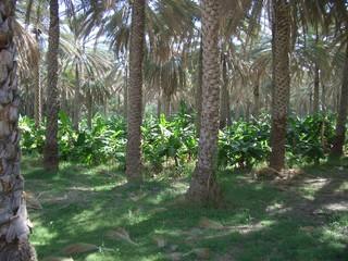 Leben in der Oase - Oman, Arabische Halbinsel, Dattelpalmen, Bananenstauden, Bewässerung, Oase, Schößlinge