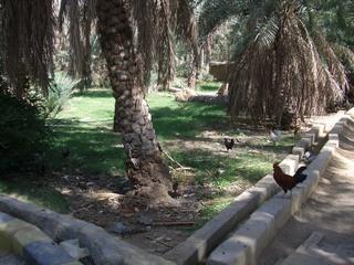 Bewässerung in der Oase - Oman, Arabische Halbinsel, Oase, Falaj-Rinnen, Bewässerung, Dattelpalmen