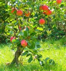 Kleiner Apfelbaum mit Äpfeln - Apfelbaum, Äpfel, Obst, Apfel, Frucht, Rot-Grün, Komplementärkontrast, Licht