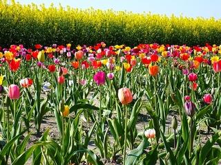 Tulpenfeld - Tulpe, Tulpen, Blume, Tulpenfeld, bunt