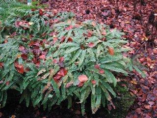 Radfarn im Herbst #1 - Farn, Adiantum, Imbricatum, Adiantaceae, Pfauenradfarn, fächerförmig, Sporenpflanze