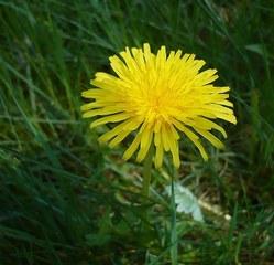 Löwenzahnblüte - Löwenzahn, Korbblütler, Taraxacum, gelb, Blüte, blühen, Blütenstand, Wiese