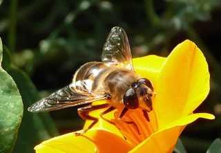 Insekt, Fliege auf Blume - Nahaufnahme, Insekt, Fliege, Zweiflügler, Bremse, Blutsauger, Stechmücke, Krankheitsüberträger