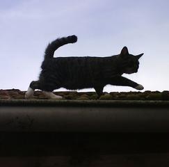 Katze auf dem Dach - Katze, Kater, klettern, balancieren, Dach, Gleichgewicht, Schreibanlass