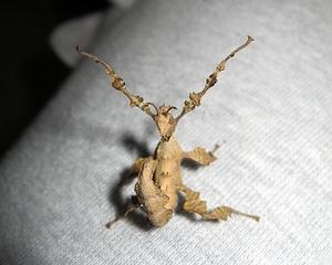 australische Gespenstschrecke - Extatosoma tiaratum #4 - Gespenstschrecke, Insekt, Mimikri, Terrarium