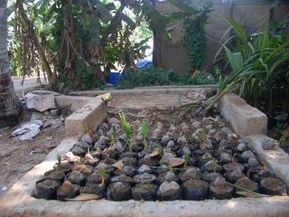 Anzucht von Kokospalmen #1 - Kokospalme, Cocus nucifera, Palmengewächse, Schopfbaum, Kokusnuss, Steinfrucht, Kokuswasser, Kopra, Plantage, Baumschule, Anzucht