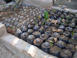 Anzucht von Kokospalmen #2 - Kokospalme, Cocus nucifera, Palmengewächse, Schopfbaum, Kokusnuss, Steinfrucht, Kokuswasser, Kopra, Plantage, Baumschule, Anzucht