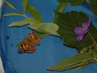 Entwicklung des Distelfalters #8 (Fertiger Distelfalter)  - Distelfalter, Distelfalteraufzucht, Falter, Schmetterling