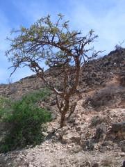 Weihrauchbaum #1 - Weihrauchbaum, Boswellia sp, Balsamgewächse, Gummiharz, äherisches Öl, Aroma, Parfümherstellung, Religion, Ritual, Provinz Dhofar, Oman, arabische Halbinsel