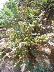 Weihrauchbaum Früchte #4 - Weihrauchbaum, Boswellia sp, Balsamgewächse, Früchte, Gummiharz, ätherisches Öl, Aroma, Parfümherstellung, Religion, Ritual, Provinz Dhofar, Oman, arabische Halbinsel